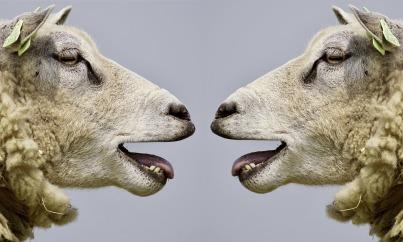 sheep-2372148_1920 (1)